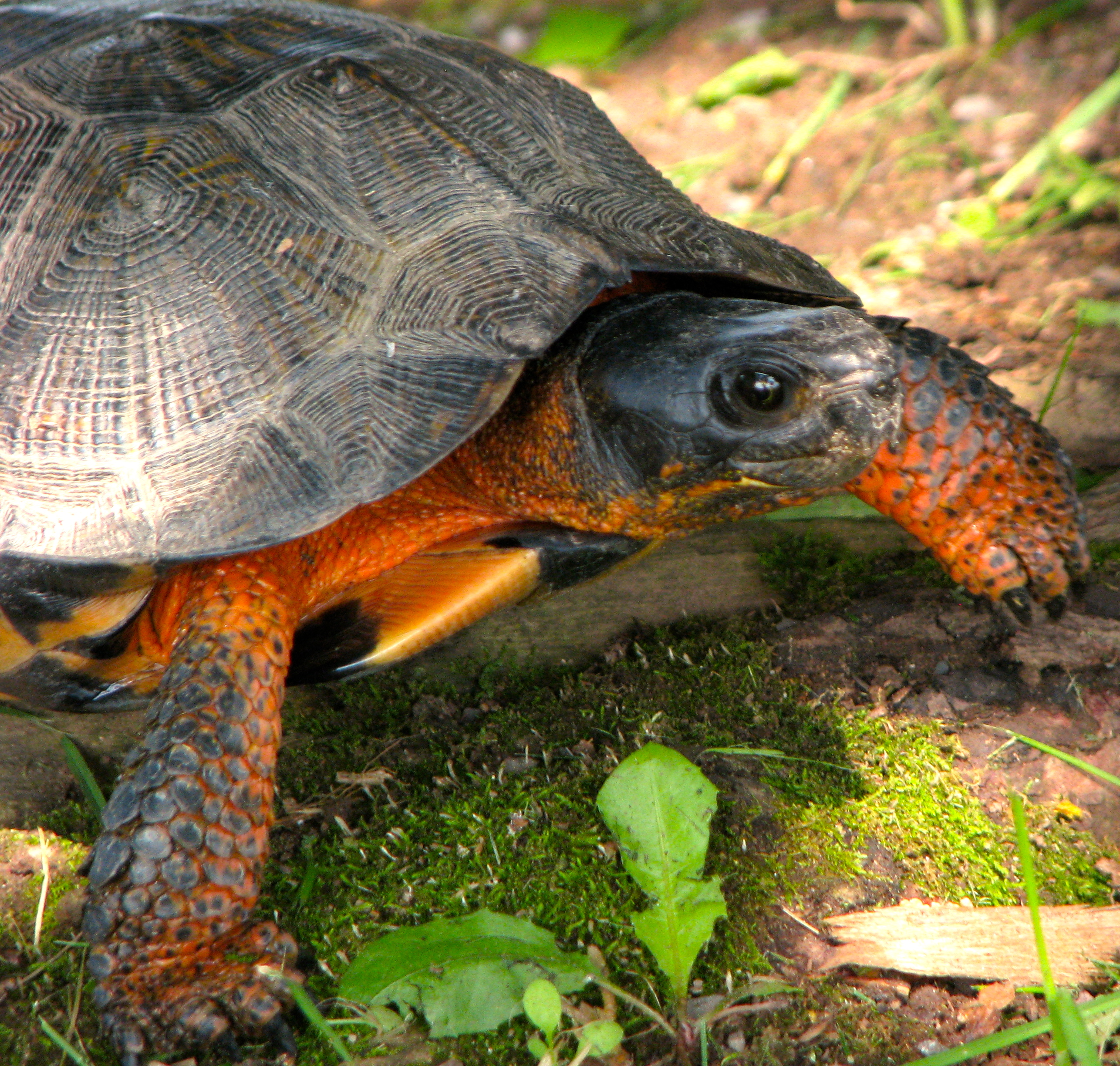 The Wood Turtle, a semi-aquatic freshwater species, has a shell that resembles wood, hence its name. At risk in its entire range, it has found a safe place on 5th Canadian Division Support Base Gagetown where conservation efforts earned the base a Silver Salamander Award from the Canadian Herpetological Society on September 19, 2015. Photo by: Deanna McCullum, 5th Canadian Division Support Base Range Biologist. ©2015 DND-MDN Canada.