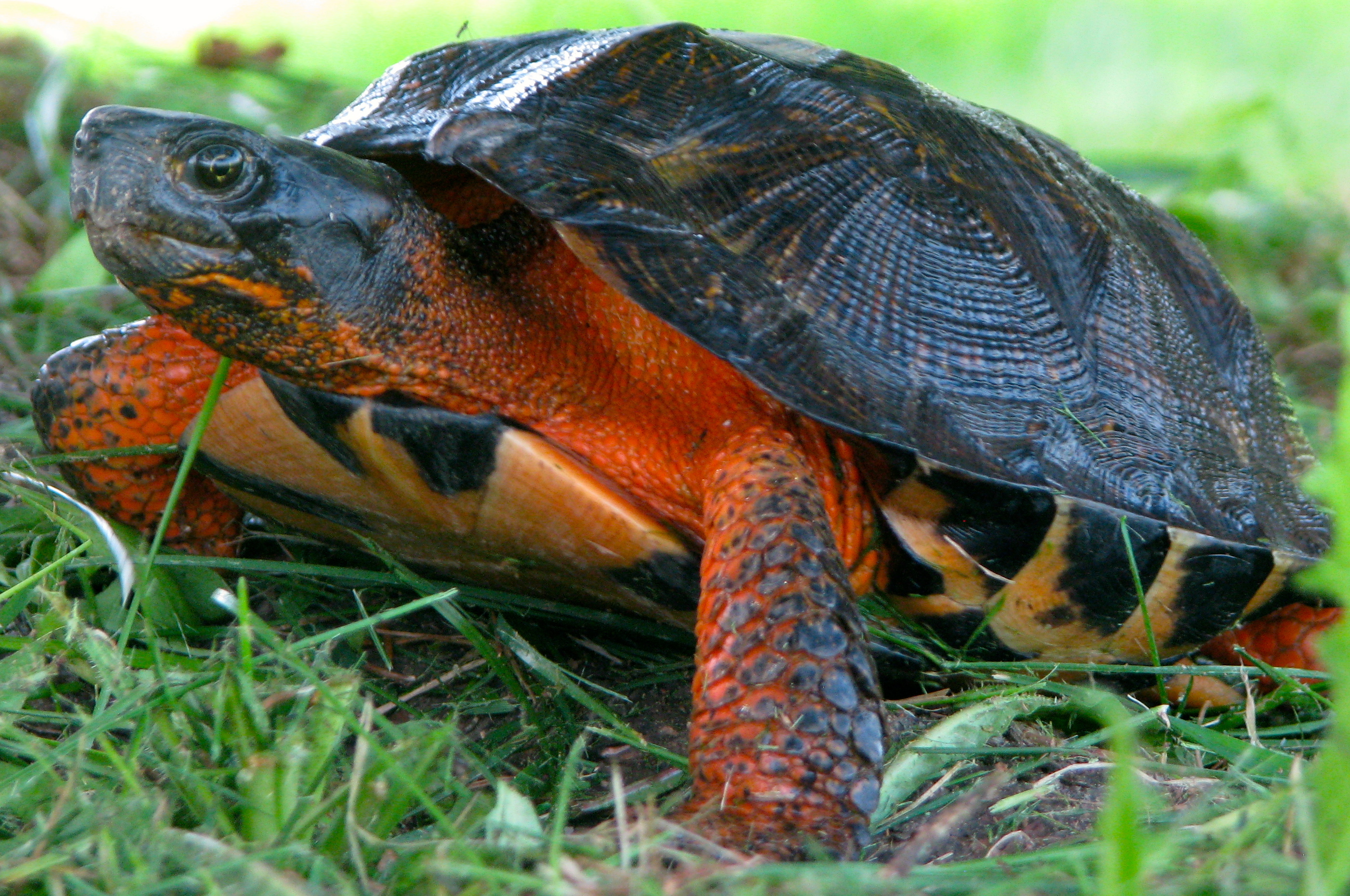 A photo of a Wood Turtle.