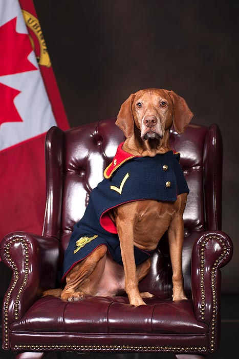 Gunner (Trained Canine) Loki, the mascot of The Royal Regiment of Canadian Artillery School is promoted to his present rank on December 11, 2017. Gnr (TC) Loki became the official mascot of the RCAS on October 5, 2017. Pictured in his custom Regimental dog jacket, Gnr (TC) Loki's duties include attendance at parades, physical training sessions, inspections and morale-building visits to the loyal Batteries at the RCAS. 