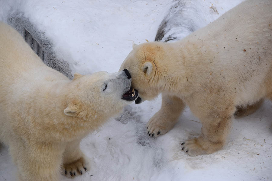 Honorary Corporal Juno, the Canadian Army's adopted polar bear (left), interacts with her friend York in the Leatherdale International Polar Bear Conservatory at the Assiniboine Park Zoo in Winnipeg, Manitoba in November 2017. 