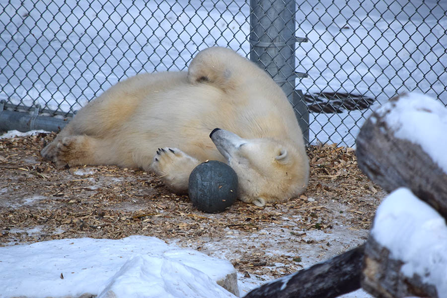 Honorary Corporal Juno, the Canadian Army's adopted polar bear, plays with one of her enrichment toys at her home in the Leatherdale International Polar Bear Conservatory at the Assiniboine Park Zoo in January 2018. 