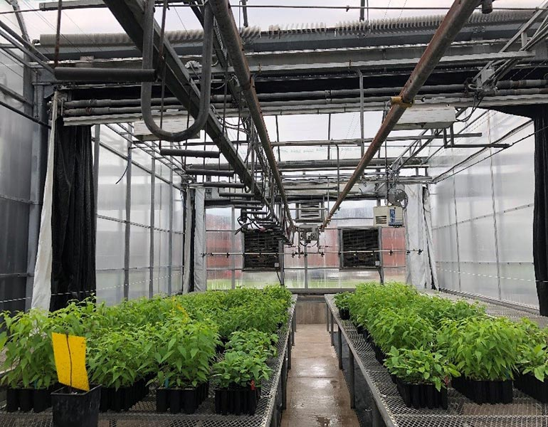Young cherry trees grow in the Canadian Forestry Services' greenhouses in preparation for planting in 5th Canadian Division Support Base Gagetown's Range and Training Area in the spring of 2019. Photo: Megan Betts, 5th Canadian Division Support Base Gagetown Environmental Services Branch. ©2018 DND/MDN Canada.