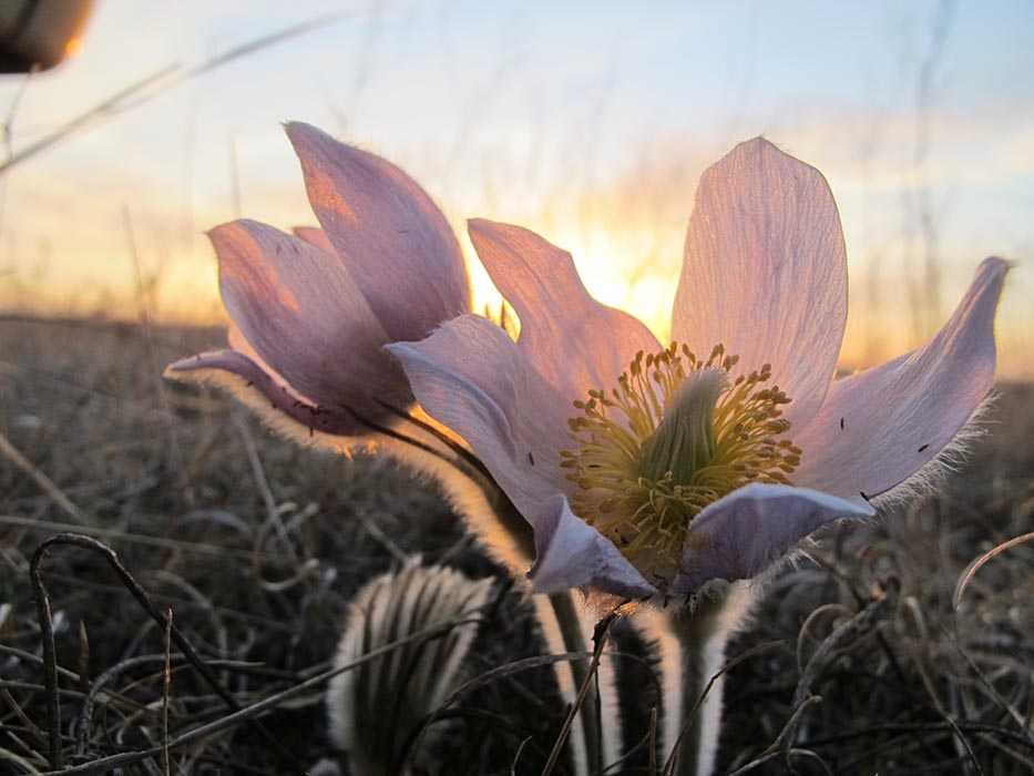 A prairie crocus, Manitoba's official flower, as seen on the Canadian Forces Base Shilo Range and Training Area. Photo: Sherry Punak-Murphy, Base Biologist. ©2019 DND/MDN Canada.