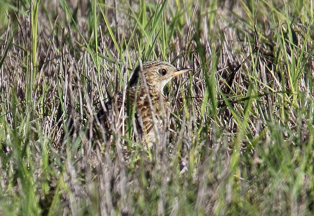 Sprague's Pipit is one of the 17 species at risk that lives on Canadian Forces Base Shilo's Range and Training Area. Photo: ©Dominic Sherony.