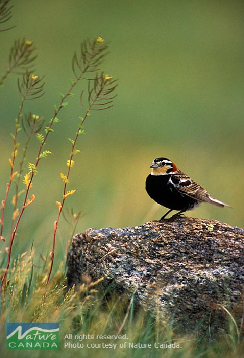 The Chestnut-collared Longspur, one of 17 species at risk at Canadian Forces Base Shilo, is more abundant in areas that have burned recently. Photo: provided by Nature Canada.