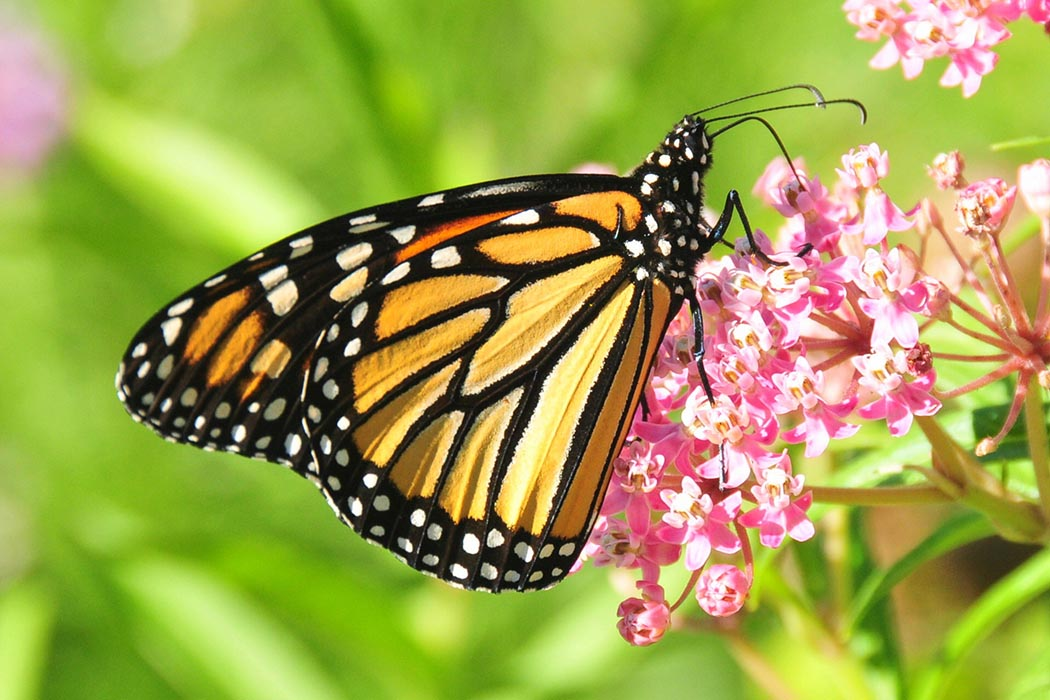 The monarch butterfly and many other species at risk are able to harmoniously co-exist with military and police training that takes place at Ottawa's Connaught Ranges and Primary Training Centre. That is thanks to The Department of National Defence and Public Services and Procurement Canada, who work together to maintain pristine natural habitats on the site. Photo: Pixabay.com