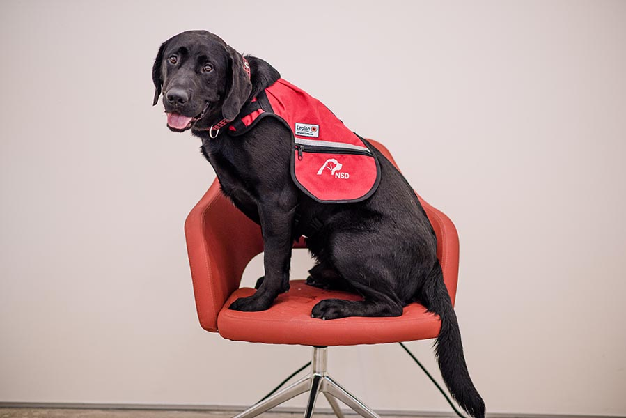 Thunder, in his work vest in fall, 2019, was trained from earliest puppyhood for service as a PTSD dog Photo provided by National Service Dogs