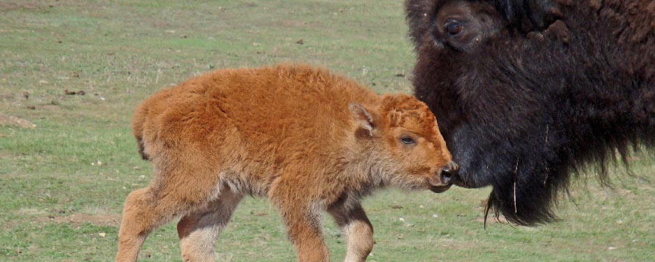 Slide - Bison cow and newborn calf
